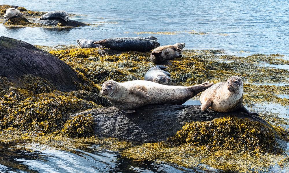 Fotoreise Irland - Beara Halbinsel - Seehunde in der Bucht vor Garinish Island